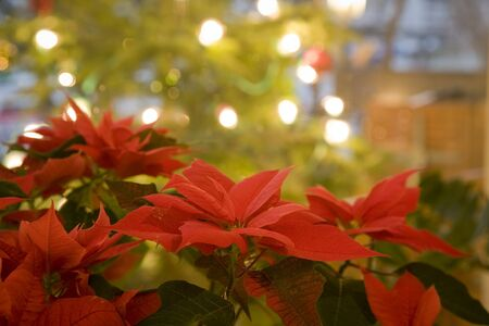 christmas mood atmosphere rose poinsettia Stock Photo