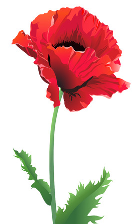 flower head:  red poppy flowers on white and black backgrounds Illustration
