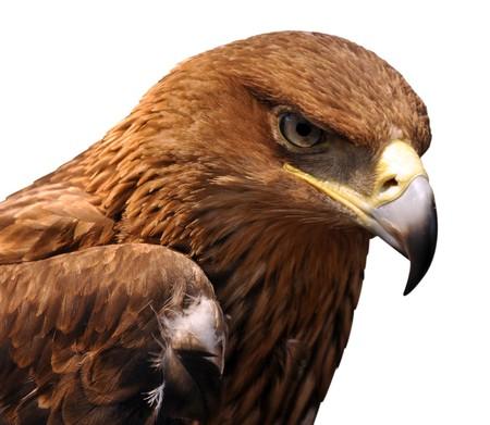 hawk feathers: Eagle
