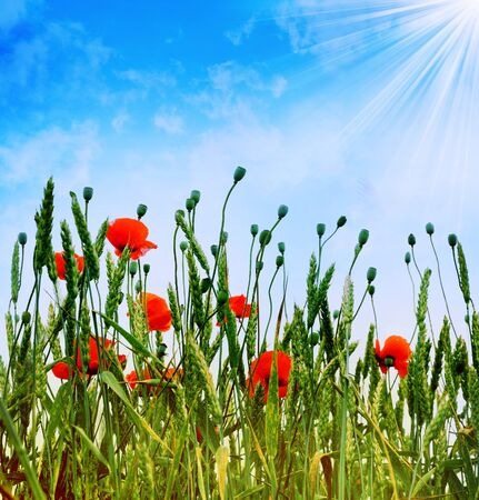 day dream: Poppies opposite blue sky
