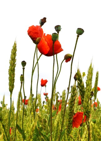 Poppies isolated on white background photo