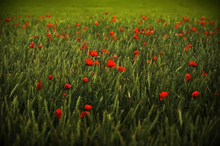 Poppy meadow background photo