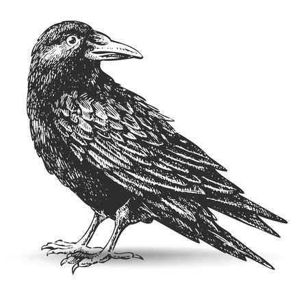 black and white line drawing: raven drawing Illustration