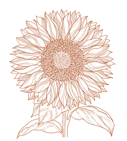 sunflower drawing Stock Vector - 7860234