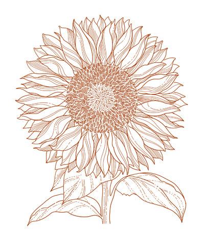 zonnebloem: zonne bloem tekening