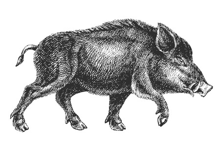 detailed image: boar drawing
