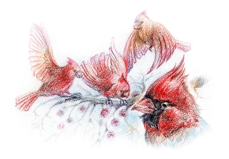 cardinal bird: red birds colorful pencil illustration Stock Photo
