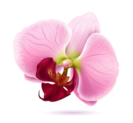orchid flower Stock Vector - 9240272