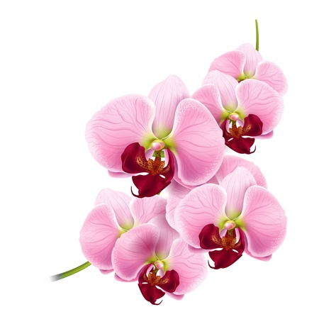 beautiful orchids flowers branch isolated on white background  Illustration