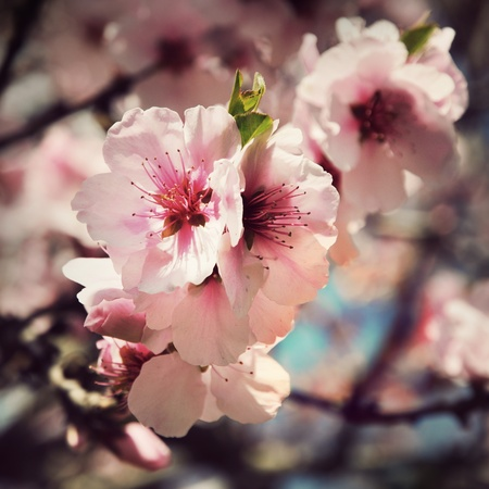 vintage cherry blossom flowers close up photo