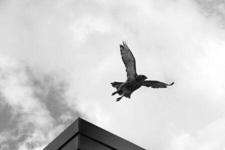 flew: Hawk Taking Off Stock Photo