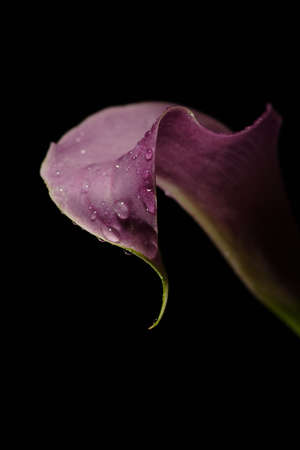 lavendar: A close up of a graceful lavendar calla lily with water droplets on its surface.