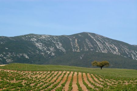 portugal agriculture: landscape with a solitaire tree between the vineyard and the mountain in Arrabida, Portugal Stock Photo