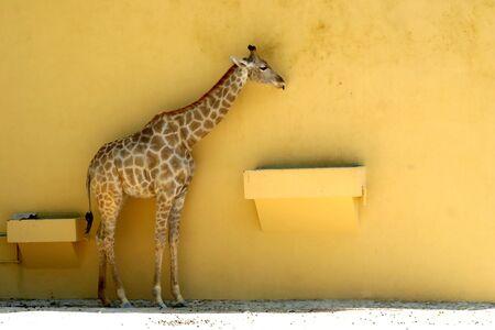 giraffe in a yellow wall in zoo photo