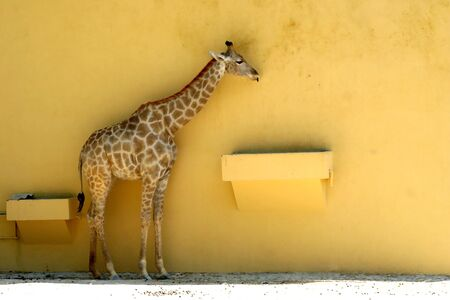 giraffe in a yellow wall in zoo photo