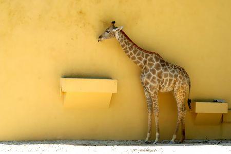 giraffe in a yellow wall in zoo