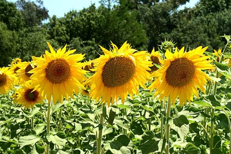 sunflower field - summer symbols photo