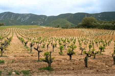 vineyard in arrabida, portugal in spring