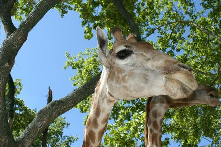 giraffe in zoo with green vegetation background