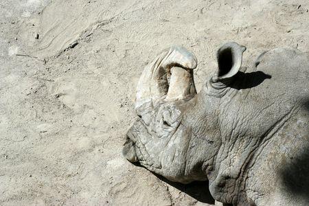 detail of a rhino head sleeping photo