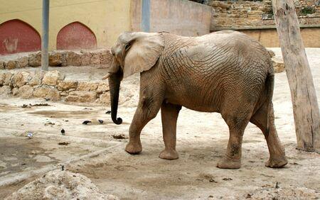 huge elephant walking in the zoo