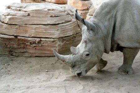 detail of white rhino in zoo