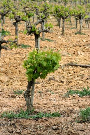 vineard detail in arrabida, portugal, in spring Stock Photo