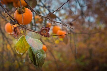 Autumnal background with persimmons on tree. Stock Photo