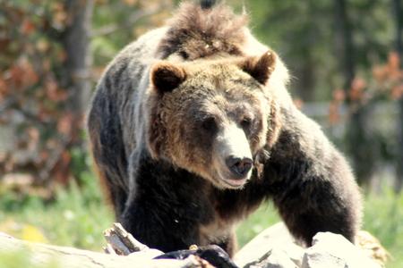 Female grizzly bear, USA. Wildlife icon. Stock Photo