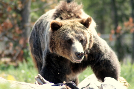Grizzli femelle, USA. Icône de la faune.