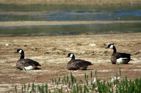 Canadian geese (Branta canadensis) back view in Yellowstone National Park.