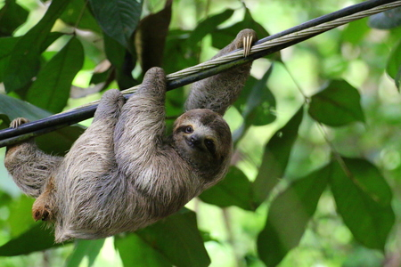 Young Brown-throated Sloth (Bradypus variegatus) hanging on a cable, Costa Rica.