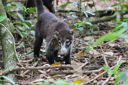 white-nosed coati (Nasua narica), also known as the coatimundi. Corcovado national park, Costa Rica Stock Photo