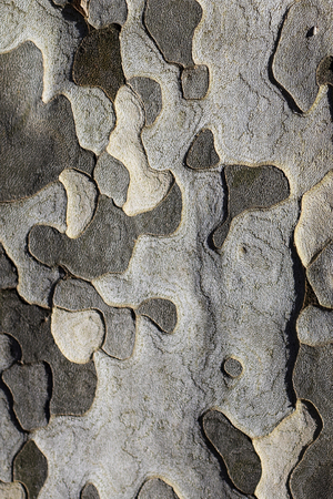 the typical patches of the plane tree bark form a military camouflage pattern.