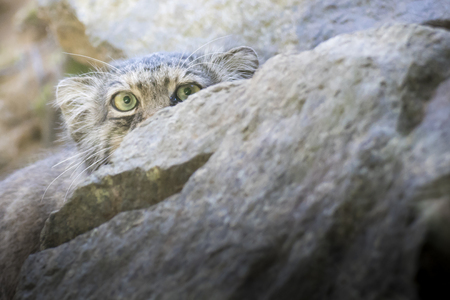 Manul cat (otocolobus manul) looking at camera from behind a rock. Close up portrait with copy space.