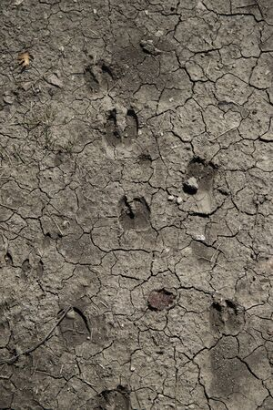 Various deer tracks in dry mud. Vertical shot. Stock Photo