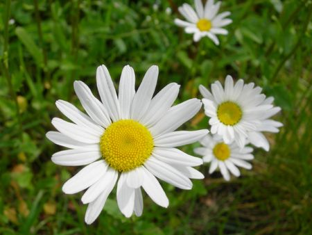 Meadow of daisy flowers or bellis perennis Stock Photo