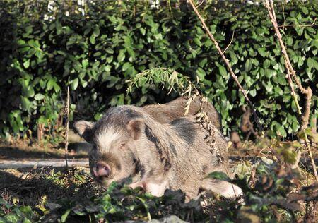 scrofa: A Wild Boar pic or Sus Scrofa