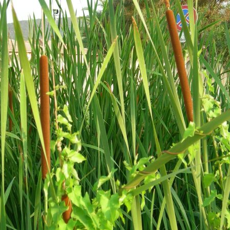 bullrush: Bullrush water plants Stock Photo