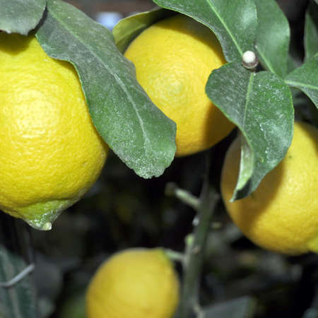 citrus family: A lemon tree in the Citrus Limon family
