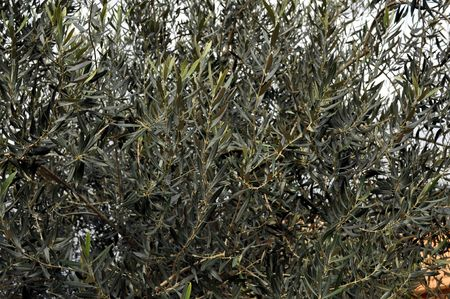 cetrino: Willow mimbre plano planta del g�nero Salix