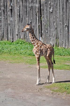 chordata: Giraffe, Giraffa Camelopardalis (Kingdom Animalia, Phylum Chordata, Class Mammalia, Order Artiodactyla, Family Giraffidae) Stock Photo
