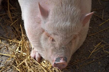 chordata: Pig (Kingdom Animalia, Phylum Chordata, Class Mammalia Theria Eutheria, Order Artiodactyla, Family Suidae Suinae)