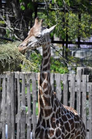 mammalia: Giraffe, Giraffa Camelopardalis (Kingdom Animalia, Phylum Chordata, Class Mammalia, Order Artiodactyla, Family Giraffidae) Stock Photo