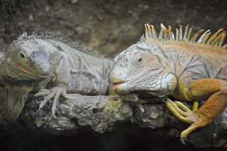 chameleon lizard: Chameleon lizard of the family of Chamaeleonidae