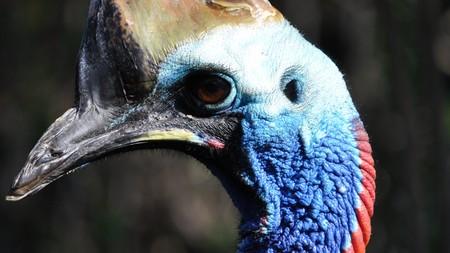 cassowary: Cassowary (genus Casuarius) flightless bird from New Guinea tropical forest