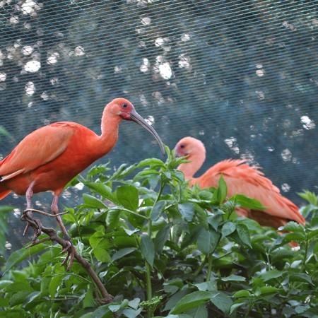 pelecanidae: A Pelican of the bird family Pelecanidae Stock Photo