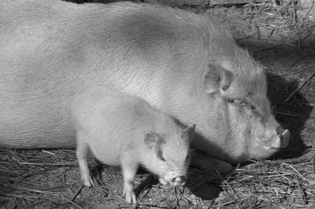 phylum chordata: Maiale (Regno Animalia, Phylum Chordata, classe Mammalia Theria Eutheria, ordine Artiodactyla, famiglia Suidae Suinae)