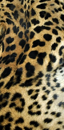 felidae: Leopard or Panthera Pardus of the Felidae family - useful as a background