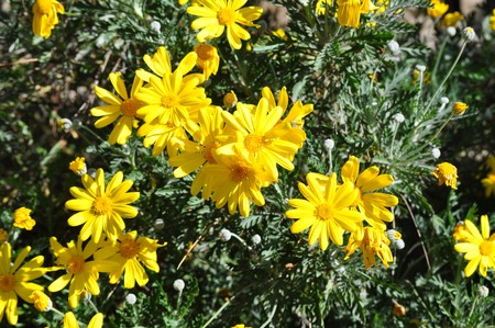 A Bellis Perennis flower aka as common daisy Stock Photo - 7249206